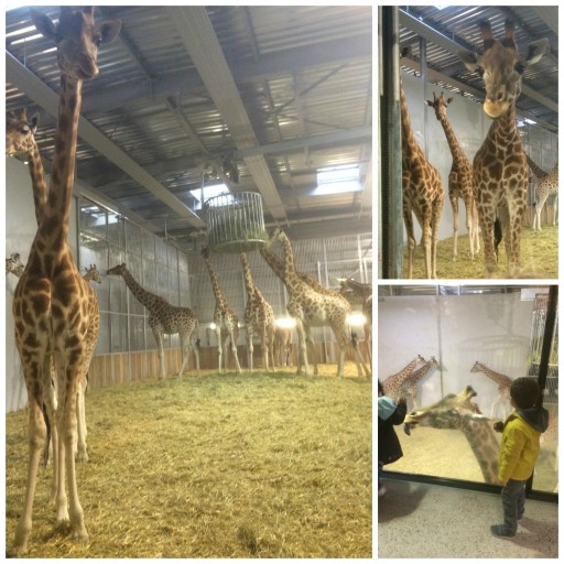 Zoo de Paris_Petit déjeuner des girafes_Expressionsdenfants