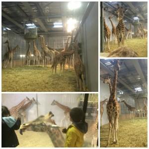 Un petit-déjeuner avec les girafes du zoo de Paris